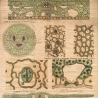 Anatomie de la feuille