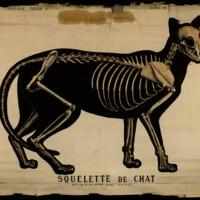 Squelette de chat