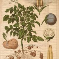 La pomme de terre : Solanum tuberosum (solanées)