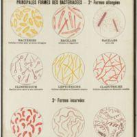 Microbes ou bactériacées : Principales formes des bactériacées - 1° Formes allongées